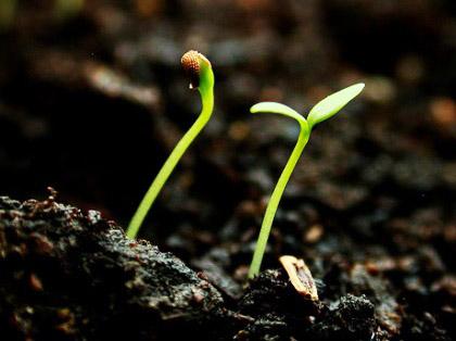 Seedling sml